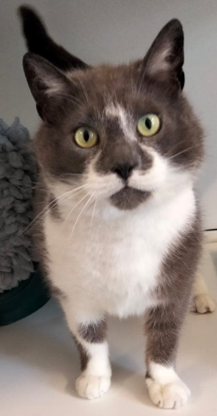 Adoptable cat at Pennine Pen Animal Rescue in Manchester, UK